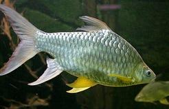 7条水族馆鱼 库存照片