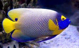 7条神仙鱼blueface 免版税库存照片