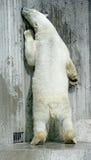 7极性的熊 免版税库存照片