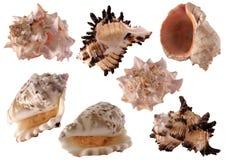 7查出的海扇壳 免版税库存照片