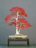 7棵盆景结构树 免版税库存照片
