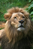 7狮子 免版税库存照片