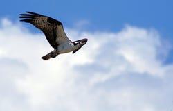 7白鹭的羽毛 库存照片