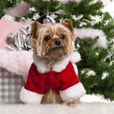 7老圣诞老人狗佩带的年约克夏 库存照片
