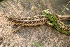 7蜥蜴 免版税库存图片