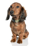 7达克斯猎犬老年 免版税库存照片