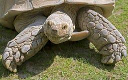 7非洲被激励的草龟 库存图片