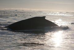 7驼背海洋南部的鲸鱼 库存图片