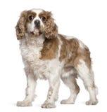 7骑士查尔斯国王老西班牙猎狗年 免版税库存图片