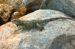 7鬣鳞蜥 库存图片