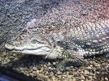 7鳄鱼 库存图片