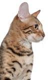 7 övre för månader för bengal kattclose gammala Royaltyfri Foto