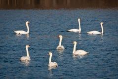 7 лебедей плавая Стоковая Фотография