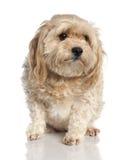 7 лет собаки мальтийсных старых Стоковые Изображения RF