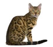 7 месяцев котенка Бенгалии Стоковое Изображение