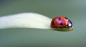 7 пятно punctata 7 ladybird coccinella Стоковые Фотографии RF