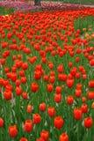 7 тюльпанов стоковые изображения rf