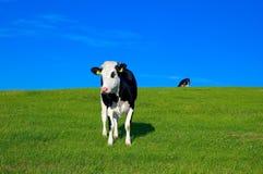 7头母牛域 免版税库存图片