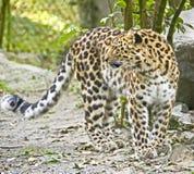 7 amur leopard Στοκ Φωτογραφία