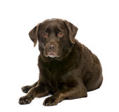 7 ans de Labrador Photographie stock libre de droits
