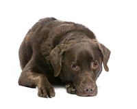 7 ans de Labrador Images libres de droits