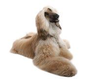 7 ans grommed bruns afghans de chien Photographie stock libre de droits