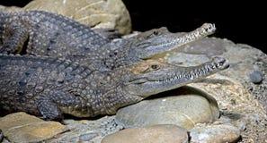 7 australijczyków krokodyl Obraz Royalty Free