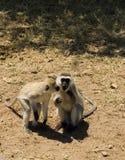 7 błękit małpi samango Obrazy Royalty Free