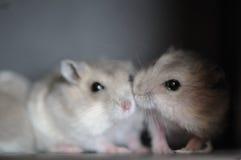 7 behandla som ett barn hamsteren Arkivfoto