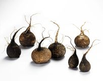 7 Black Radish Royalty Free Stock Image