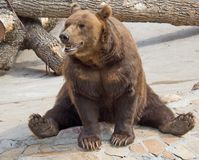 7 brown bear Fotografia Royalty Free