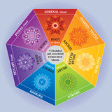 7 Chakras Color Chart with Mandalas and Endocrine Glands. 7 Chakras Color Chart illustrated with Mandalas. Each Chakra is depicted with its Associated Endocrine Stock Illustration