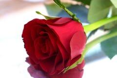 7 czerwona róża zdjęcie royalty free