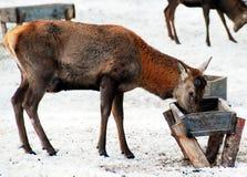 7 deers Στοκ φωτογραφία με δικαίωμα ελεύθερης χρήσης