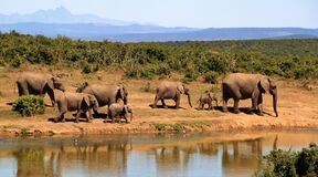 7 Elephants Walking Beside Body of Water during Daytime Stock Photography