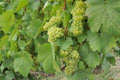 7 epernay druvor för champagne Royaltyfria Foton