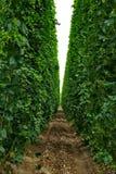 7 farmę chmielu Fotografia Royalty Free