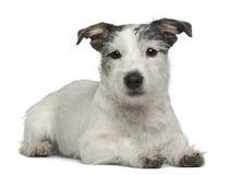 7 gammala blandade månader för avelhund Royaltyfria Bilder