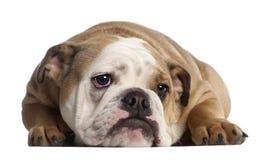 7 gammala engelska månader för bulldogg Royaltyfri Fotografi