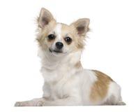 7 gammala liggande månader för chihuahua Royaltyfria Bilder