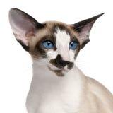 7 gammala siamese för kattheadshotmånader Royaltyfri Fotografi