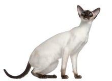 7 gammala siamese för kattungemånader Arkivbild