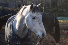7 kierowniczy koń Zdjęcia Royalty Free