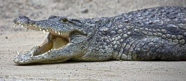 7 krokodil nile Royaltyfria Bilder