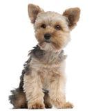 7 månader gammal sittande terrier yorkshire Arkivfoto