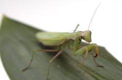 7 mantis Στοκ Φωτογραφίες