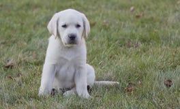 7 minúsculos filhote de cachorro amarelo semanas de idade do laboratório Fotos de Stock Royalty Free