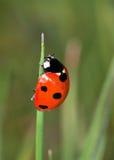 7-Spot coccinella (punctata di Coccinella 7) Fotografia Stock