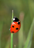 7-Spot Ladybird (Coccinella 7-punctata) Stock Photo