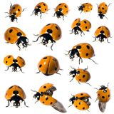 7 spot ladybird in different positions stock images